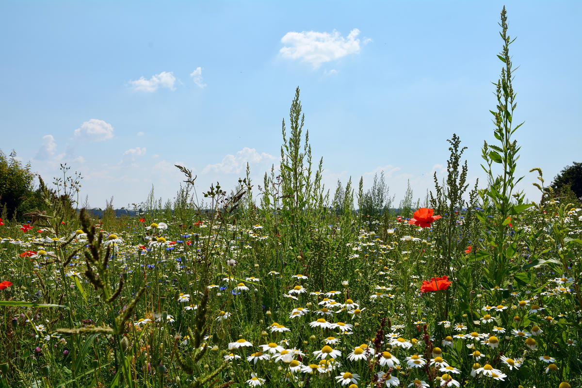 Blumenwiese in Dünzlau